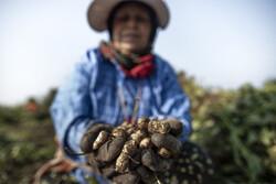 Peanut fields in N Iran