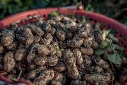 پیش بینی برداشت ۱۲ هزار تن بادام زمینی در گیلان
