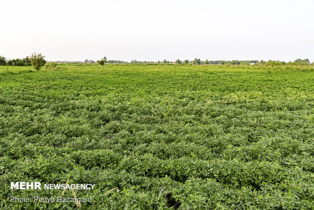 Peanut fields in N Iran