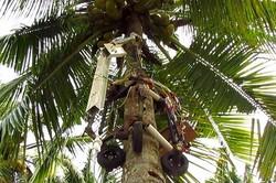 ربات هندی از درخت بالا میرود و نارگیل میچیند
