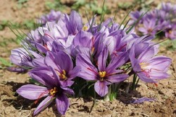 VIDEO: Harvesting high-quality saffron in Kashan