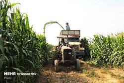 تولید ۴۴۰ هزار تن ذرت در مزارع کشاورزی شهرستان آبیک