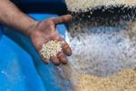 آغاز خرید توافقی برنج از شالیکاران منطقه الموت