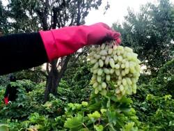 VIDEO: Harvesting grapes in Kashmar
