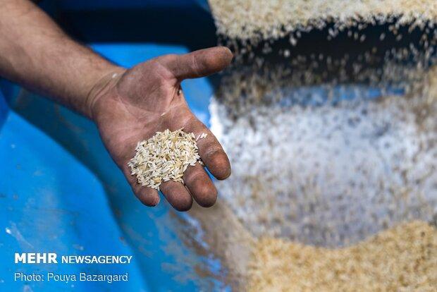رنجی که برنج گیلان از باران برد
