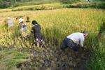تصاویری از برداشت سنتی برنج در مازندران