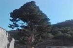 ثبت ملی درخت افسانهای ۶۰۰ ساله «اَوِرس» در لرستان