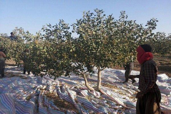 گرما آفت جان پستهزارهای یزد/ ۷۰ درصد پستهها بر شاخه خشکید