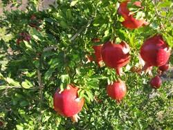 سرمازدگی عامل اصلی کاهش محصول انار در اصفهان است