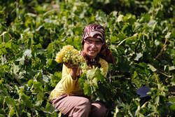 İran'ın Melayer bölgesinde üzüm hasadı zamanı