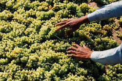 افزایش ۲۰ درصدی تولید انگور در شهرستان دره شهر