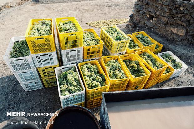 برداشت انگور و استحصال کشمش در روستای توسک مانیزان ملایر