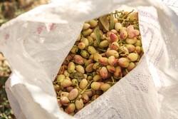 İran'da fıstık hasadı mevsimi