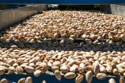 جاجرم کے باغات سے پستہ کی محصول جمع کرنے کی فصل کا آغاز