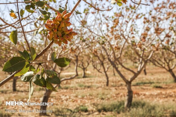 """قطف الفستق من حدائق """"جاجرم"""" الايرانية / صور"""