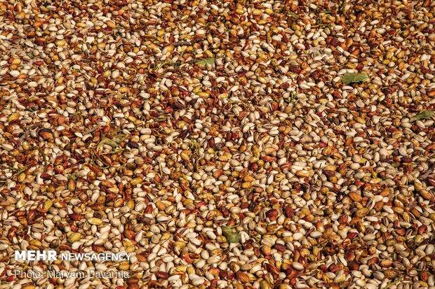 Harvesting pistachio from gardens in Jajaram