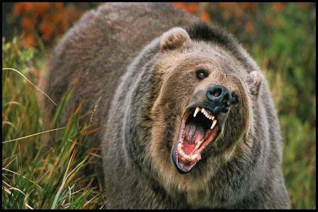 حمله بی رحمانه خرس به دامدار دهدزی