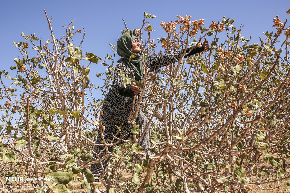 Mehr News Agency - Harvesting pistachio from gardens in Jajaram