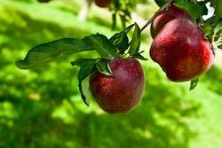 برداشت بیش از ۶۰ هزار تن سیب از سطح باغات مشهد