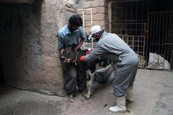 واکسیناسیون رایگان دام های سنگین در کردستان