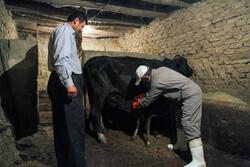 اجرای طرح اصلاحنژاد واحد دامی سنتی و روستایی در استان قزوین