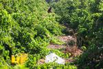 Kazvin eylatinde üzüm hasadı