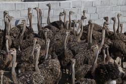 ایران کے صوبہ ہرمزگان میں شتر مرغ پالنے کے لئے 31 اجازت نامے صادر