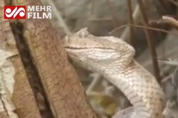 VIDEO: Ranger slakes thirst of poisonous snake in C Iran
