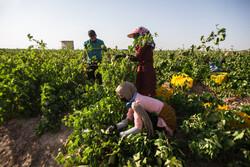 برداشت انگور یاقوتی در اراضی شیبدار شهرستان دره شهر آغاز شد