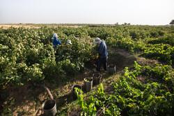 قزوین میں انگور توڑنے کی فصل کا آغاز