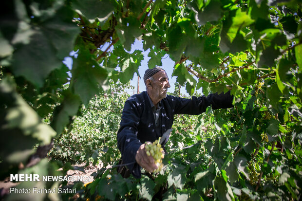 فصل چیدن انگور در قزوین