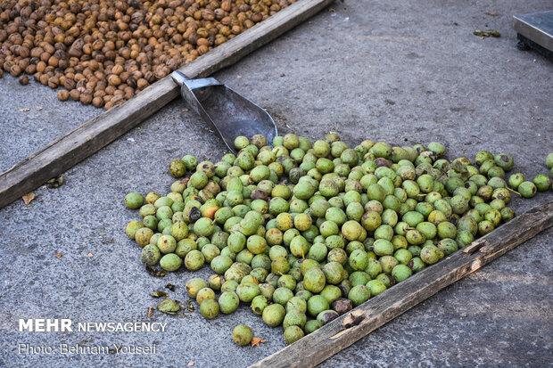 Harvesting walnut in Tuyserkan