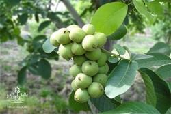 ۱۲۵ هزار سرشاخهکاری گردو در استان همدان انجام شده است