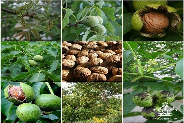 توسعه باغات خشکبار در لرستان/ ۲۱ هزار تن گردو تولید میشود
