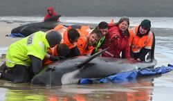 خودکشی دستهجمعی نهنگها در سواحل تاسمانی
