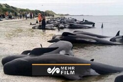 VIDEO: Hundreds more whales found stranded on Tasmania coast