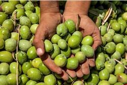 زمینه چینی برای واردات کنسرو زیتون/کاهش ۳۰۰درصدی تولید روغن زیتون