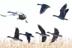 آغاز کوچ پرندگان به سواحل و تالابهای هرمزگان