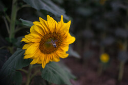 قزوین میں سورج مکھی کے کھیتوں کے شاندار جلوے