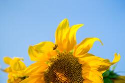 Sunflower fields in Qazvin