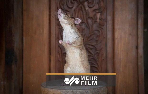 خنثی سازی مین با موش