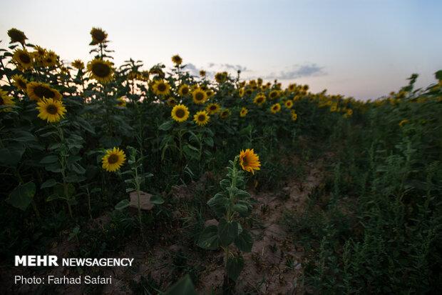 مزارع آفتاب گردان در دشت قزوین