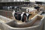 گاوهای مولد در صف کشتارگاه
