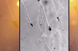 تولید ذرات نانو از جوانه چای برای نابودی باکتریها