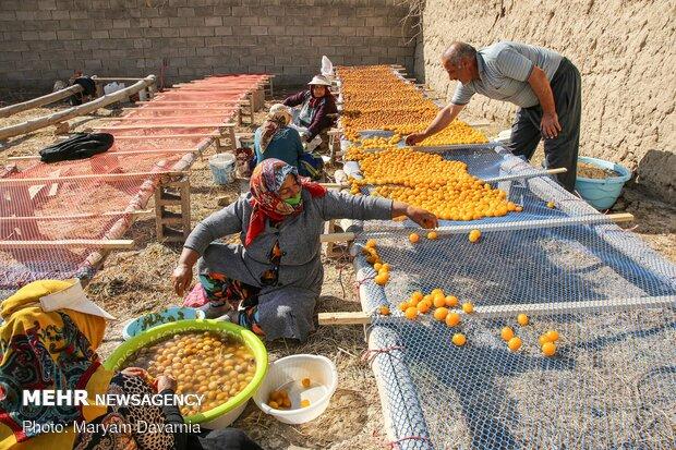 Harvesting, drying plums in NE Iran