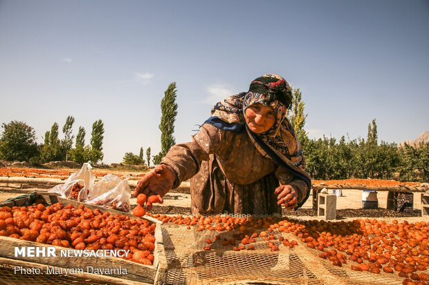 Harvesting, drying plums in NE Iran