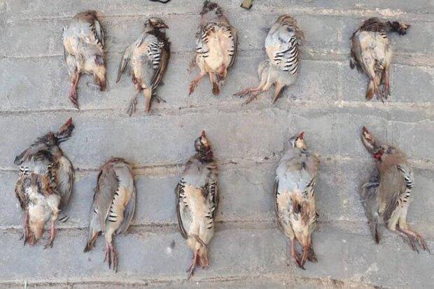 دستگیری شکارچیان پرندگان در شاهرود/۳۶ کبک زنده کشف شد