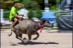 تھائی لینڈ میں بھینسوں کی سواری کا مقابلہ