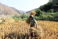 Traditional rice harvest in Golestan prov.