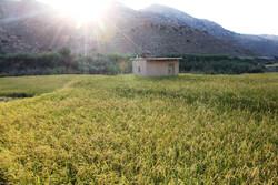 برداشت برنج به روش سنتی در گلستان